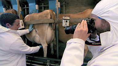 Pull the udder one, Alex! (Image: BBC)
